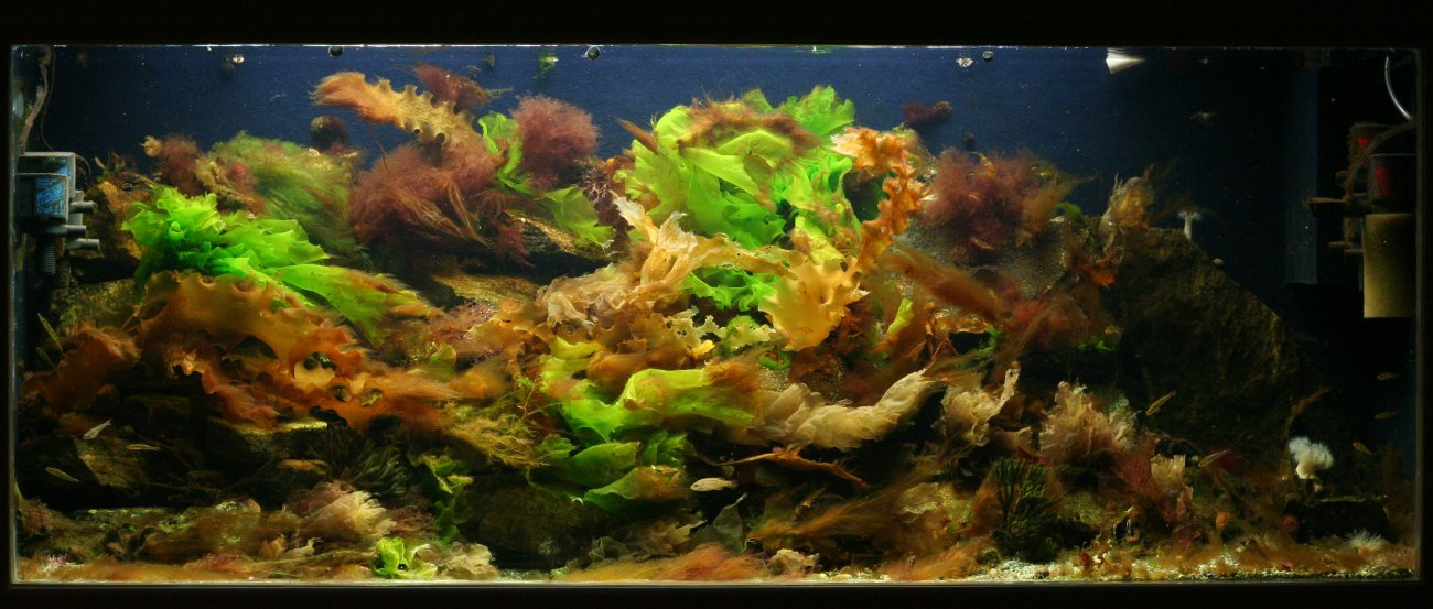 Pics for brown algae aquarium for Black algae in fish tank