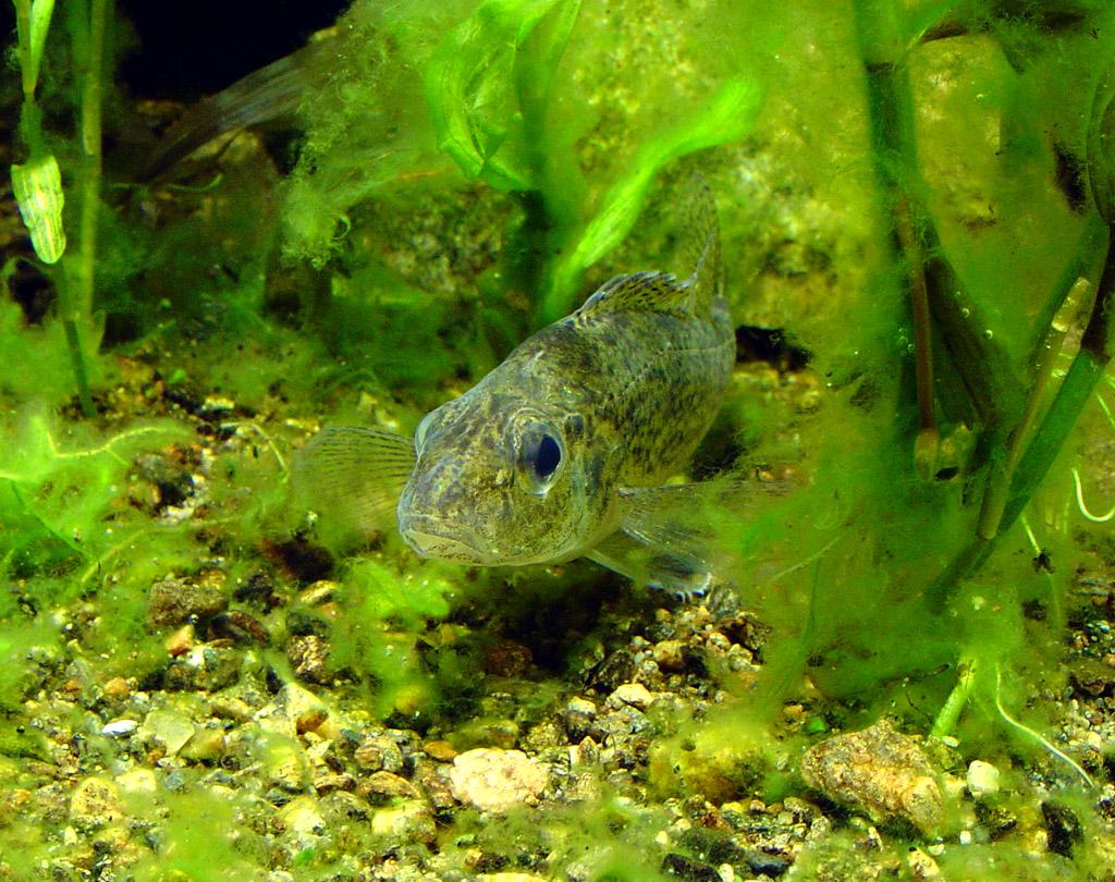 sidelinjeorgan på fisk